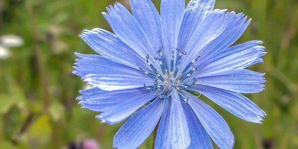 Cichorei afbeelding bloem