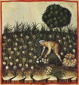 knoflook - allium sativum - historische tekening