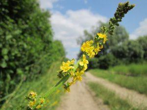 agrimonie - agrimonia eupatoria - bloem en aar