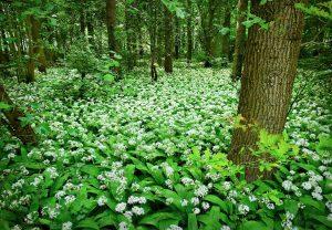 daslook - allium ursinum - hele plant