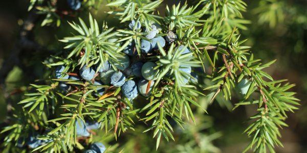 jeneverbes - juniperus communis - naald en bes