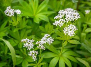 lievevrouwebedstro - galium odorata - bloem en blad