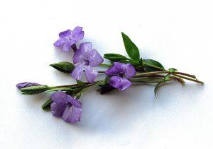 maagdenpalm - vinca minor - bloem en blad
