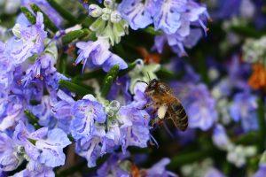 rozemarijn - rosmarinus officinalis - bloem en bij