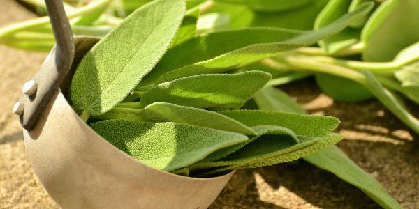 salie - salvia officinalis - blad
