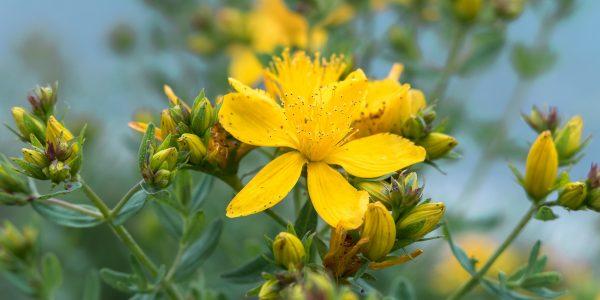 sint janskruid - hypericum perforatum - bloem en knop