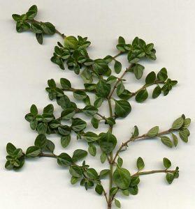 tijm - thymus vulgaris - stengel en blad CC BY-SA 3.0, https://commons.wikimedia.org/w/index.php?curid=260175