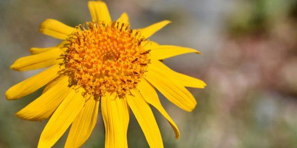 valkruid - arnica montana - bloem