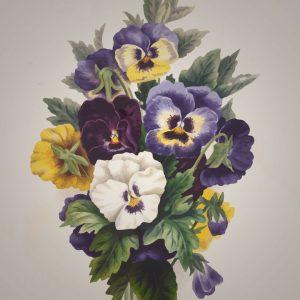viooltje - viola-tricolor - tekening