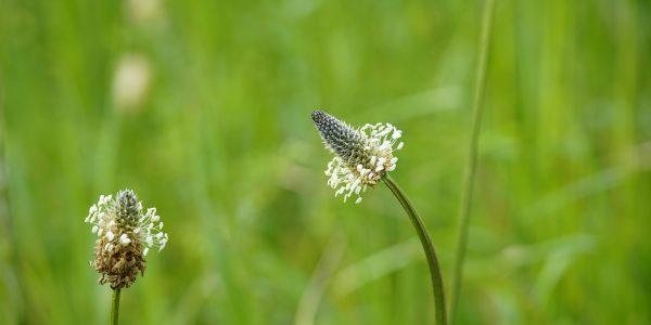 weegbree - plantago lanceolata - bloeivorm