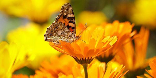 goudsbloem - calendula officinalis - bloem en vlinder