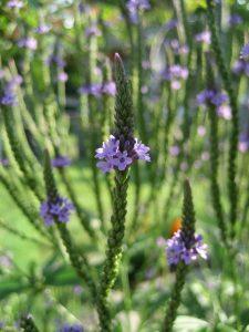 ijzerhard - verbena officinalis - bloeivorm