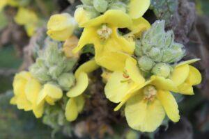 koningskaars - verbascum thapsus - knop en bloem