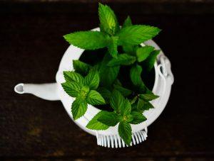 pepermunt - mentha piperita - blad in pot