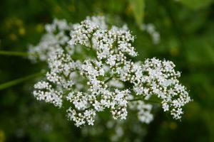 valeriaan - valeriana officinalis - bloeivorm