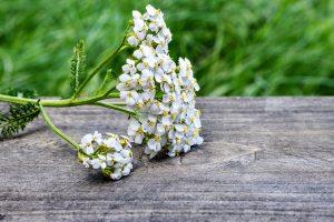 duizeduizendblad duizendblad achillea millefoliummillefoliumndblad achillea millefolium