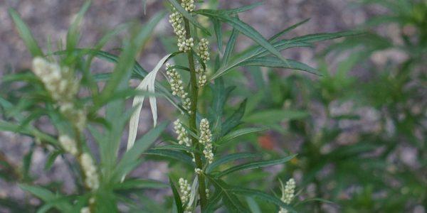 bijvoet - artemisia vulgaris - blad en bloeiwijze