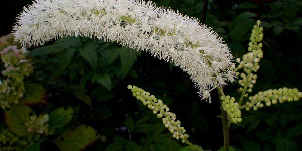 zilverkaars - cimicifuga racemosa - bloeiwijze