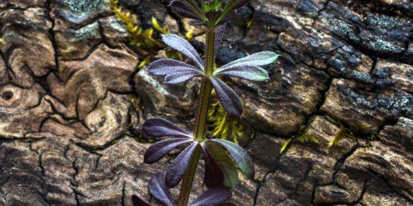 kleefkruid - galium aparine - blad
