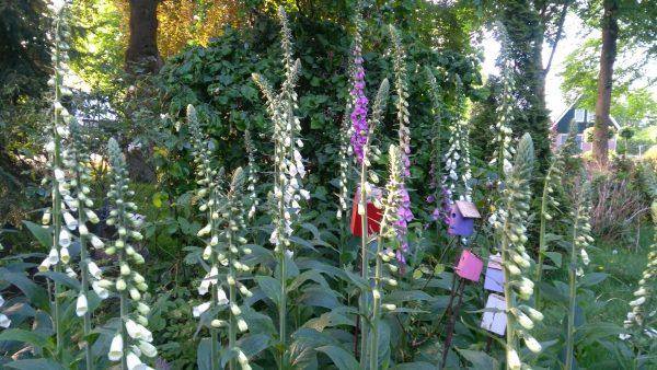 Soms zijn planten te gevaarlijk voor therapeutisch en medicinaal gebruik: vingerhoedskruid, Digitalis purpurea