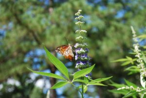 monnikspeper - vitex agnus castus - kruid met vlinder